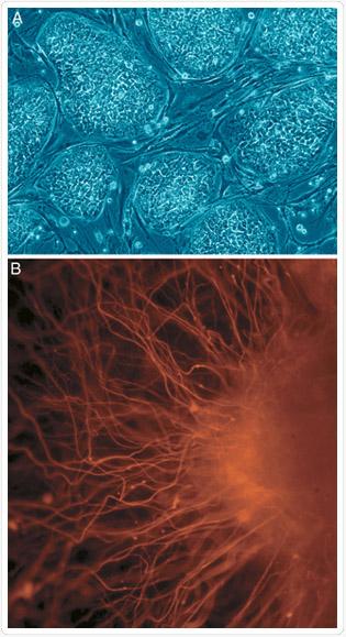 Embrionális őssejtek (A) még nem differenciálódott (B) idegsejtek